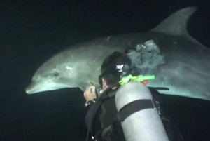 Intelligent Dolphin Being Rescued by Divers in Hawaii
